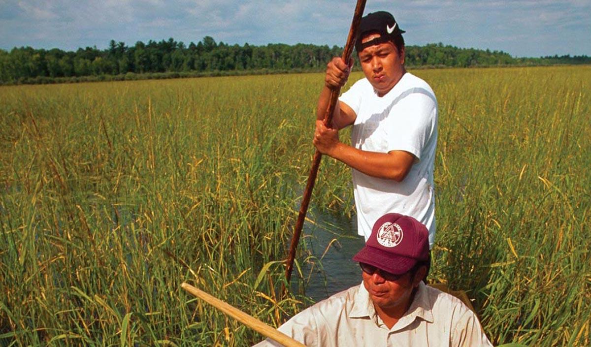 wild rice harvesting